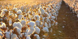 Cover photo for Check Cotton for Plant Bugs