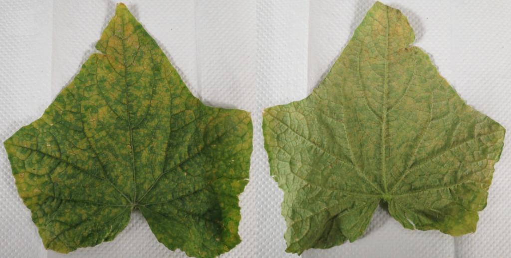 disease cucumber leaves