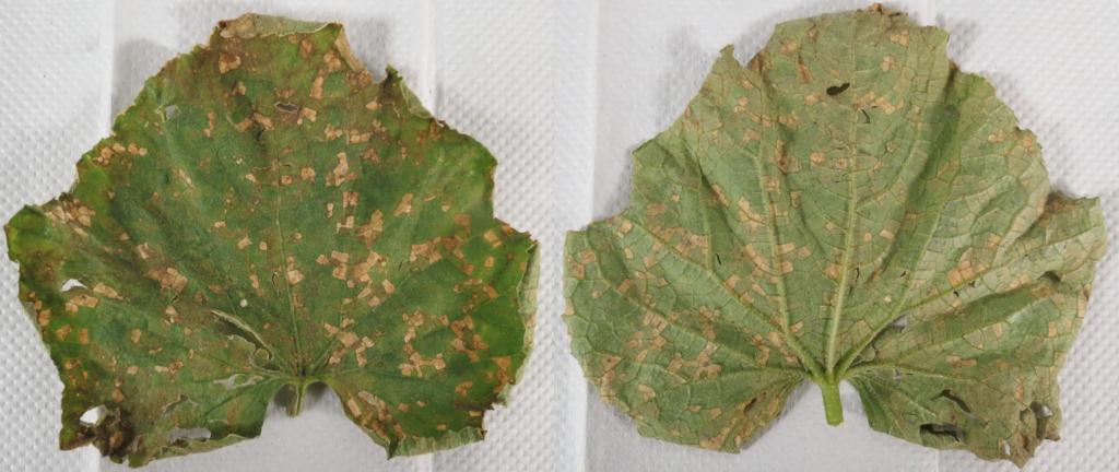 diseased cucumber leaves