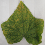 Cover photo for Cucumber Downy Mildew Confirmed in North Carolina and South Carolina
