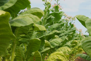 Cover photo for North Carolina Flue-Cured Tobacco Growers Referendum
