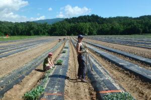 Planting broccoli in an on-farm trial