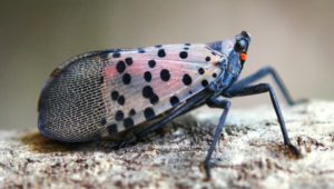 Cover photo for Keep an Eye Out for Spotted Lanternfly