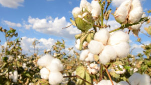 Cover photo for NC Cotton Field Day - Sept. 19