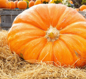 Cover photo for Our Giant (Atlantic) Pumpkin Story