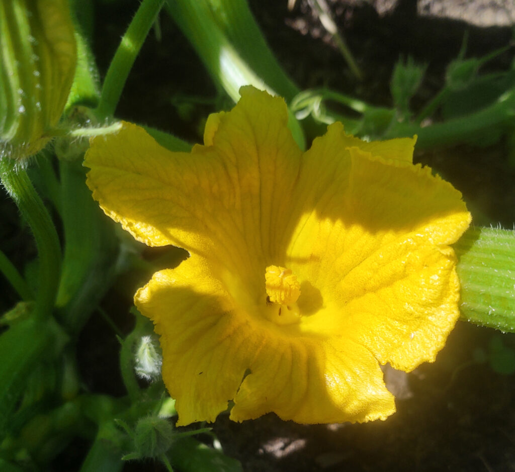 Pumpkin flower